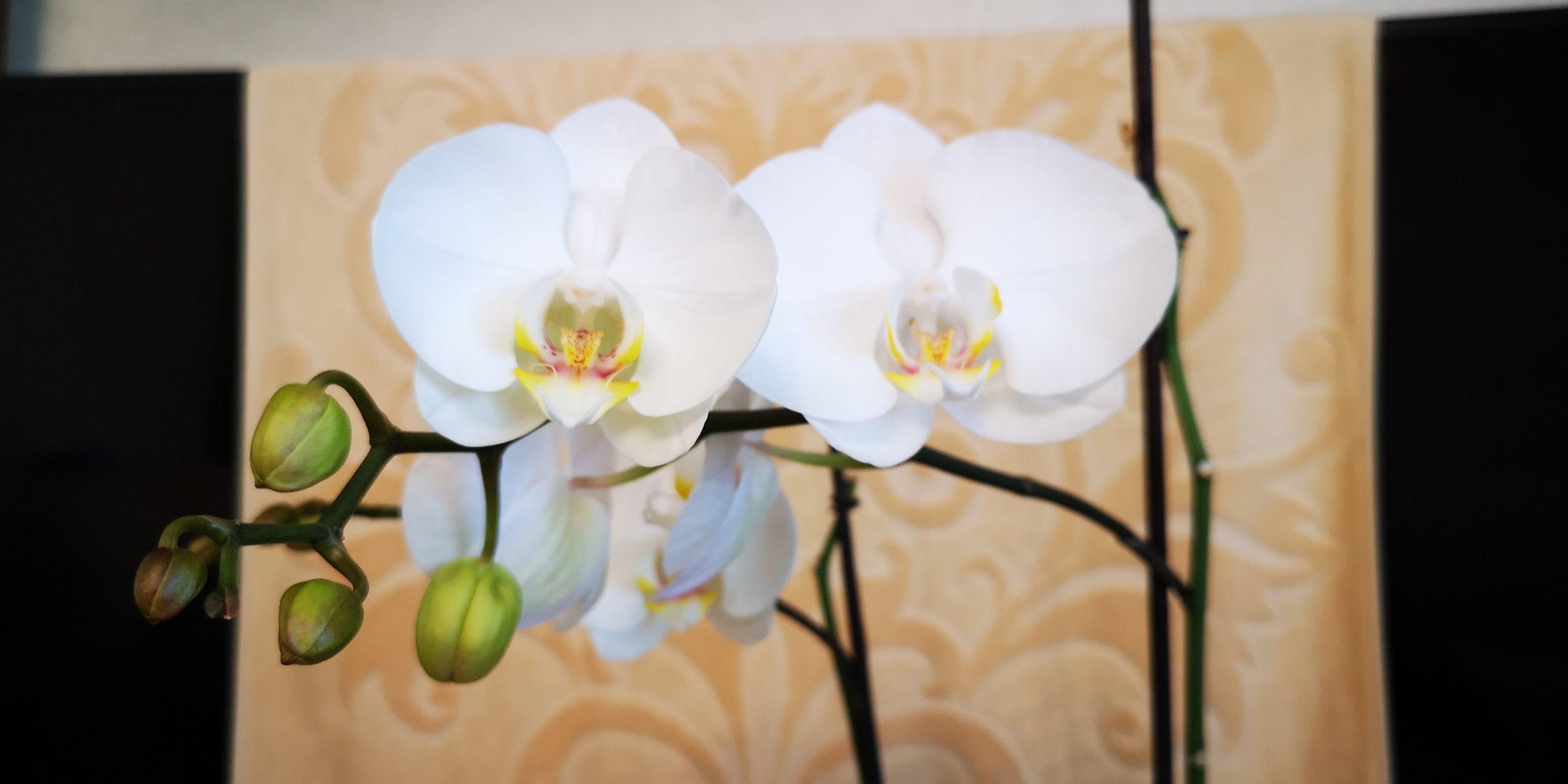 Выращивание орхидеи в домашних условиях.