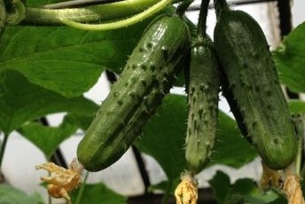Выращивание огурцов на балконе.